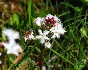 Цветок трилистник