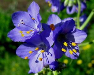 синюха голубая применение и противопоказания фото