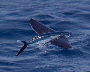 Летучая рыба Описание состав полезные свойства и противопоказания Летучая рыба