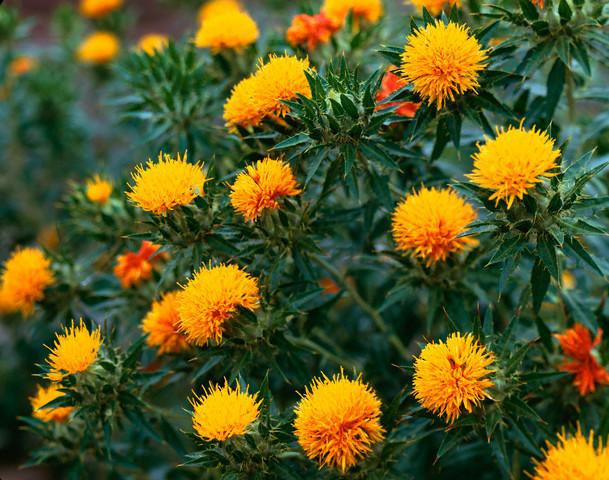 Агротехника выращивания сафлора 49