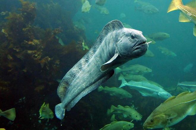 зубатка синяя фото рыбы